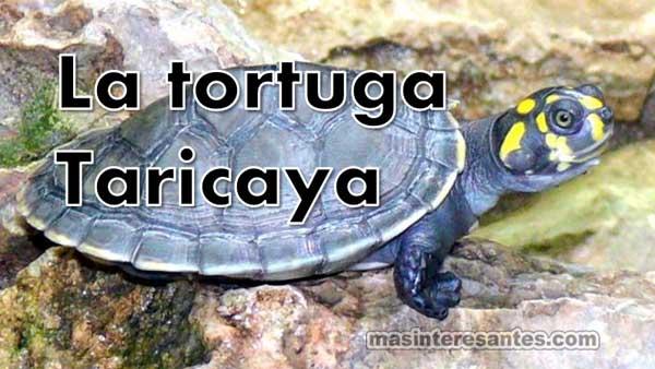 Tortuga taricaya